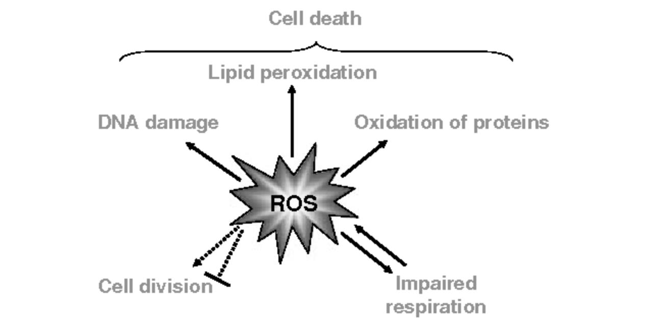 Anti Aging lowering oxidative stress